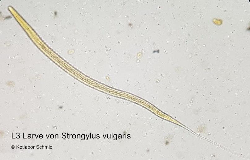Strongylus vulgaris-Larve unter dem Mikroskop